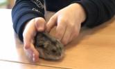 Hamster Juleke in de klas!